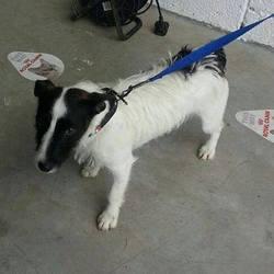 Found dog on 04 Jul 2014 in navan. FOUND navan Female Terrier X found in Navan...contact Meath pound on 087 0676766...