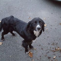 Found dog on 04 Nov 2015 in moyvalley kildare. Collie found in Moyvalley Kildare.