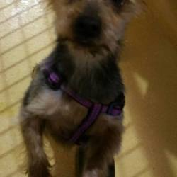 Found dog on 04 Nov 2015 in Tallaght D24... found contact dspca..Male adult Yorkie (was underweight and matted when found) . came in 02/11/15 from Tallaght D24.
