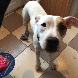 Found dog on 04 Oct 2016 in Blessington. Young male dog, white and brown. Found Manor Kilbride area, Blessington. No microchip