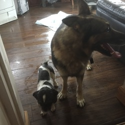 Found dog on 04 Sep 2017 in Saggart. 2 dogs found in Saggart