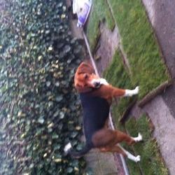 Found dog on 05 Apr 2013 in Palmerstown. Male Beagle. Found today in Palmerstown, Dublin 20.
