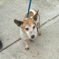Found dog on 05 Apr 2017 in  Clonard & Enfield. found....older male Jrt ref 120..found with Kim between Clonard & Enfield...contact Meath pound on 087 0676766...thanks