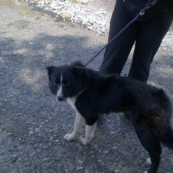 Found dog on 05 Aug 2013 in Moynalty. Ref 393 Bucky. Collie male entire black and white. Around 1.5-2 years old. Bucky was found straying in Westland Moynalty. Bucky is a very enthusiastic and energetic boy, he loved meeting the pound staff and he nudges right up into your leg and looks up at you very excitedly.  If you can help this boy...contact Meath pound directly on 01 802 6676...please share or put up posters to help get some of these dogs home...