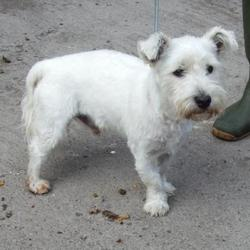 Found dog on 05 Aug 2015 in Liffey Valley , Clondalkin Palmerstown. found white terrier, now in the dublin dog pound.. Date Found: