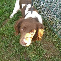 Found dog on 05 Dec 2016 in Dunsaney Kilmessan. found, now in the dublin dog pound...2yr old Male Springer Spaniel..ref 458..found in Dunsaney Kilmessan last week...not microchipped...contact Meath pound on 087 0676766..thanks