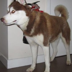 Found dog on 05 Feb 2018 in Sally Gap. . found,...is a male Husky found on the Sally Gap. Please contact Wicklow Dog Pound for further information at 0404-44873