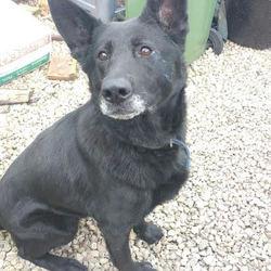 Found dog on 05 Jan 2016 in Dublin. Black GSD cross female, med-large.