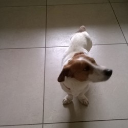 Found dog on 05 Jun 2017 in Kilkenny. Small Jack Russell terrier, male, found in Ballymartin area, earlier this week. Dog has had to receive vet treatment (fine now) , proof of ownership will be needed to claim.