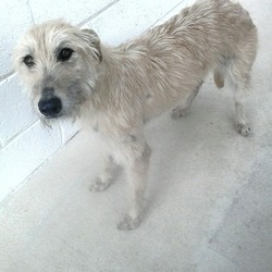 Found dog on 05 May 2015 in athboy.. found 2yrs approx...Lurcher female...found in Athboy 3 weeks ago...contact Meath pound