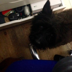 Found dog on 05 May 2015 in Merrion Gates/Sandymount/Blackrock. Black cairn terrier type dog found at Merrion Gates. Very friendly.