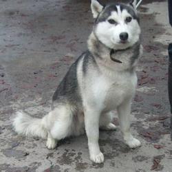 Found dog on 05 Nov 2015 in Liffey Valley , Clondalkin Lucan... found, now in the dublin dog pound.... Date Found: Tuesday, November 3, 2015 Location Found: Liffey Valley , Clondalkin Lucan