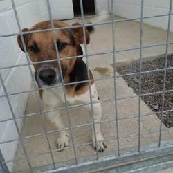 Found dog on 05 Oct 2016 in River bank Kells. found....2yr old Jrt...Found River bank Kells..ref 374...contact Meath pound on 087 0676766