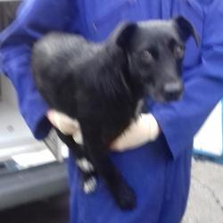 Found dog on 05 Oct 2017 in Whitehall Road , Terenure. found, now in the dublin dog pound... Date Found: