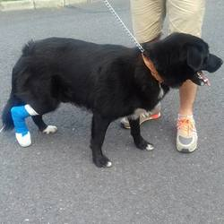 Found dog on 06 Aug 2016 in Newcastle, CO Dublin. Found in Newcastle Co Dublin. Not chipped and no collar. Had him at the vets yesterday and he appears to have a broken toe and infected wound on his foot. All wrapped up and on Meds now. Roughly 1-2 years old  Black Lab cross  White markings on chest and paws  Well looked after so someone must be missing him Proof of ownership a must