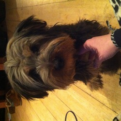 Found dog on 06 Dec 2013 in Blanchardstown. Yorkie mix female found in blanchardstown area. Being well looked after