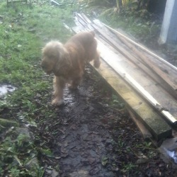 Found dog on 06 Dec 2013 in Cork City center. Male Golden Cocker Spaniel found in Cork City center (Tobin st.) also seen on Grand Parade and North Main St. Collar,no id.