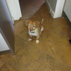 Found dog on 06 Dec 2013 in DONNYBROOK DUBLIN. SMALL TAN FEMALE DOGGY FOUND ON EGLINTON ROAD THIS MORNING 0866039845
