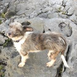 Found dog on 06 Dec 2015 in Doughiska Cross Roads,Galway city.. Small,unchipped,brindle and white terrier type,female. Since treated for severe mange. Very sociable and curious. A Survivor