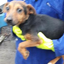 Found dog on 06 Dec 2017 in Village , Clondalkin. found, now in the dublin dog pound... Date Found: