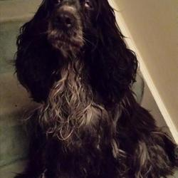 Found dog on 06 Jan 2014 in Killiney, Dublin. Found near Killiney beach 6/01/14 Cocker spaniel, around 5 years, very sweet and loving with bad eye condition. No microchip or collar. please get in contact if anyone owns or recognises her asap. Phone 0860688363
