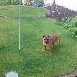 Found dog on 06 Jul 2014 in dublin, Donaghmede. male staffordshire bull terrier type dog .found in Baldoyle area Dublin .Very timid and well looked after ...018712999 .proof of ownership a must .