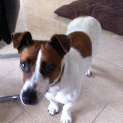 Found dog on 06 Jul 2015 in Galway. female jack russell, white with brown markings.  Long tail. No collar when found. Brown head with white flash on face.