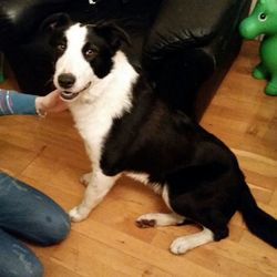 Found dog on 06 Mar 2015 in citywest. Black and white male dog found in citywest d24 area