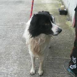 Found dog on 06 Mar 2015 in navan. found 3yrold male collie..ref. 115..Found in Fringestown/Castletown Navan...contact Meath pound