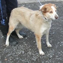 Found dog on 06 Mar 2015 in raheen. found ,now in the dublin dog pound... Date Found: