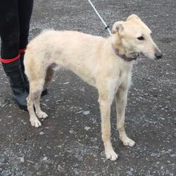 Found dog on 06 Mar 2015 in tallaght. found lurcher,now in the dublin dog pound... Date Found: