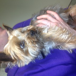 Found dog on 06 May 2013 in Glasnevin. Male miniature Yorkshire Terrier found in Glasnevin on Monday, May 6. Was dehydrated and had sore paw so now in DSPCA, Rathfarnham.
