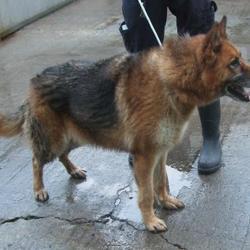 Found dog on 06 Nov 2015 in Sally Park Dodder , Firhouse Road... found, now in the dublin dog pound... Date Found: Thursday, November 5, 2015 Location Found: Sally Park Dodder , Firhouse Road
