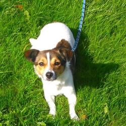 Found dog on 06 Oct 2016 in Blanchardstown D15.. found, contact DSPCA...Female Jack russell terrier found 04/10/16 in Blanchardstown D15.