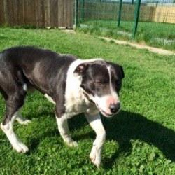 Found dog on 07 Apr 2015 in co meath. found..2yr old Lab x...found in Meath...contact Meath Pound..ref 168