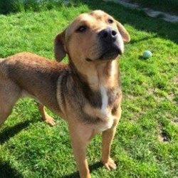 Found dog on 07 Apr 2015 in Drumcondrath . found .2yr old Lab x..found in Drumcondrath Co Meath with Rocky...contact Meath pound..ref 167