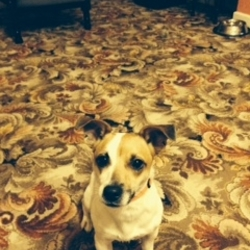 Found dog on 07 Dec 2013 in Dundrum, Dublin 16. Female Jack Russell terrier found in Dundrum, Dublin 16 early December. White and beige. She is around 2 years of age. Not microchipped. Beautiful nature and very playful.