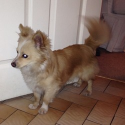 Found dog on 07 Dec 2013 in Killiney. Small beige Pom mixed male dog found in Killiney area 