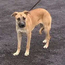 Found dog on 07 Dec 2015 in Ashbourne. found.....Lab x Mastiff. Approx 1yr old..ref 536....very timid & nervous...in Meath pound...contact them on 087 0676766..found in Ashbourne...