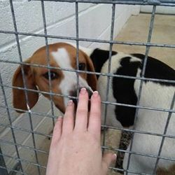 Found dog on 07 Dec 2016 in Railway Street Navan. found..2yr old Beagle..ref 459...found Railway Street Navan..not microchipped..contact Meath pound on 087 0676766...thanks