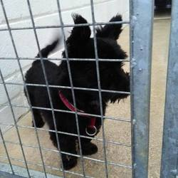 Found dog on 07 Dec 2016 in Tullaghanstown Navan . found..10mt old Scottie x...ref 460...found Tullaghanstown Navan last week..not microchipped.contact Meath pound on 087 0676766...thanks