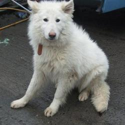 Found dog on 07 Feb 2017 in Moyglass Griffenn , Lucan. found, now in the dublin dog pound... Date Found: Monday, February 6, 2017 Location Found: Moyglass Griffenn , Lucan