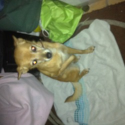 Found dog on 07 Jan 2014 in Old conna ave bray Wicklow . Golden colour could be chihuahua cross not sure also could be puppy