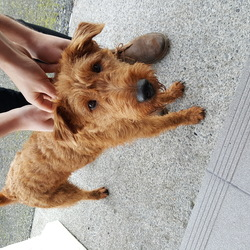 Reunited dog 07 Jan 2018 in Clarinbridge. Brown dog found at my front door today - close to Casey's cross , Clarinbridge, Co Galway. Lovely nature and very friendly. 