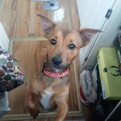 Found dog on 07 Jun 2016 in Grand Canal Dock, Dublin 2. . Jack Russel/ chihuahua cross found swimming unable to get out of Grand Canal Dock at 8am on Monday, June bank holiday.  Wearing tiger stripe collar with diamant� buckle & chewed leash.  He's a bit of a free spirit; Chewed his lead again and ran off Sunday, ended up in the pound.  I've since collected him from the pound but wondering if he was trying to find his original owner.  Puppy about one year old, red with white flash on chest and very cute trot.