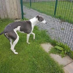 Found dog on 07 Jun 2017 in Onganstown Bohermeehan Navan. found..1yr old Greyhound...found in Onganstown Bohermeehan Navan...ref 186...contact Meath pound on 087 0676766..thanks..