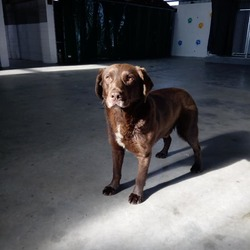 Found dog on 07 Mar 2018 in navan. found...Ref 55, male Labrador, this boy was running in traffic on the Dublin road in navan, please contact the pound on 0870973911 with any information