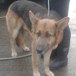 Found dog on 07 Nov 2014 in balgaddy. FOUND GSD now in dublin dog pound.... Date Found: Wednesday, November 5, 2014 Location Found: Balgaddy , Co,Dublin