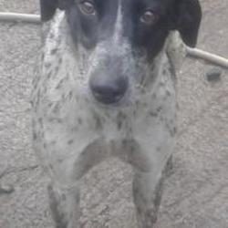 Found dog on 07 Nov 2014 in newcastle village. FOUND pointer now in dublin dog pound... Date Found: Wednesday, November 5, 2014 Location Found: Grants View , Newcastle Village