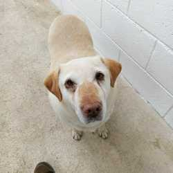Found dog on 07 Nov 2017 in Kildalky Ballivor / Frayne Road Athboy Co Meath. found...elderly Lab ref 318.. found with Arthur in Kildalky Ballivor / Frayne Road Athboy Co Meath (they have been straying for a couple of weeks).. please contact Meath pound on 087 0676766 ...